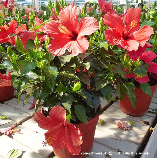 Hibiscus malvaceae coltivazione dell 39 ibisco for Ibisco in inverno