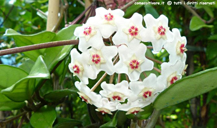 Fiori Rampicanti Bianchi.Hoya Apocynaceae Coltivazione Della Hoya