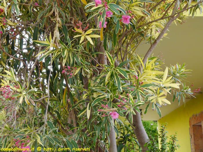 Nerium Apocynaceae Coltivazione Dell Oleandro