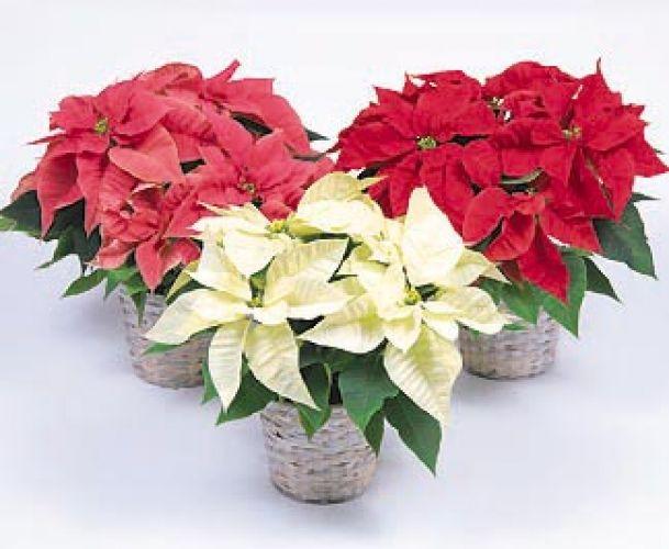 Talea Stella Di Natale.Stella Di Natale Euphorbiaceae Coltivazione Euphorbia Pulcherrima